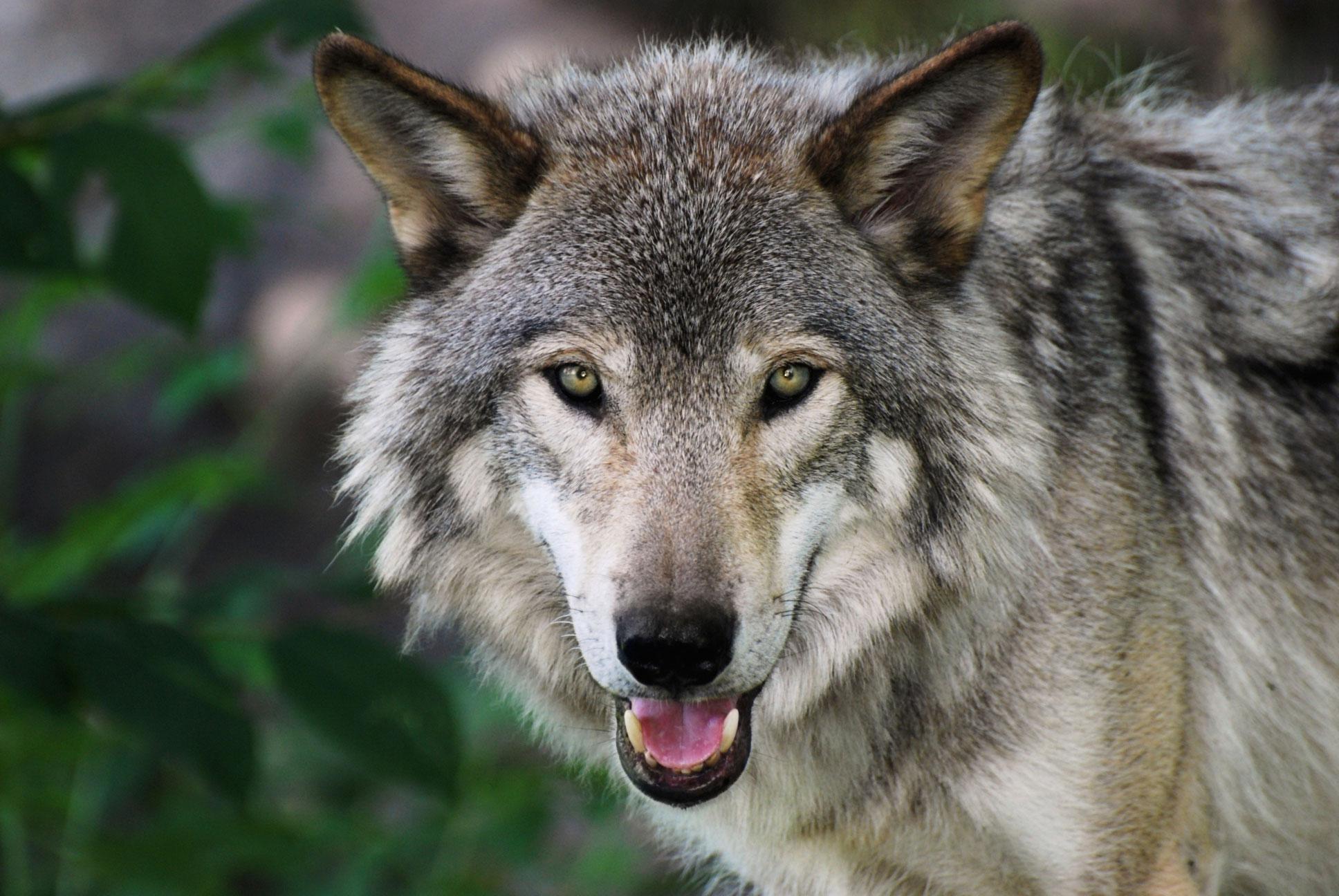 Wolf afbeelding